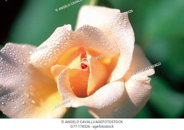 Tea rose with dew drops