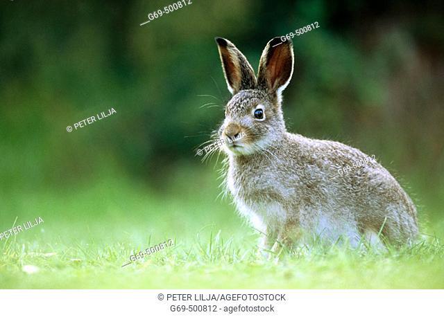A young alpin hare (Lepus timidus). Burvik, Vasterbotten. Sweden
