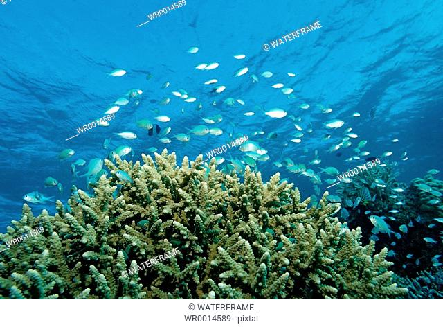 Coral Fishes over Coral Reef, Chromis viridis, Indian Ocean, Maldives