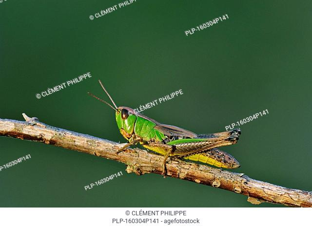 Meadow grasshopper (Chorthippus parallelus) female green colour morph on twig