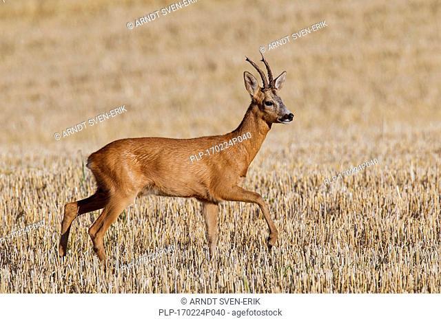 European roe deer (Capreolus capreolus) buck crossing stubblefield in summer