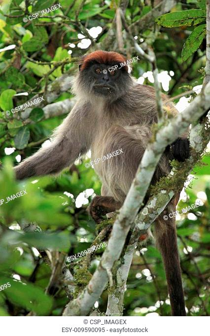 Red Colobus - Bigodi Wetlands - Uganda, Africa