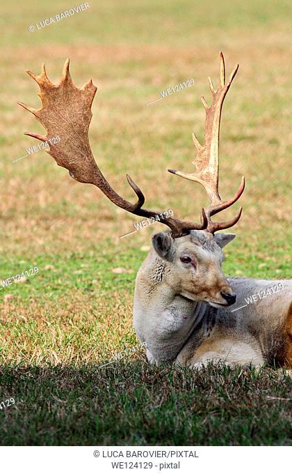 Deer - Cervus elaphus - Arcadia Park, Bareggio, Milan Italy