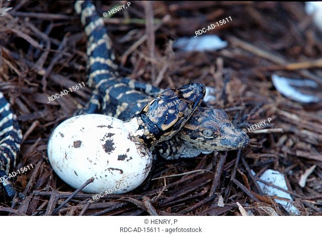 American Alligator hatching out of egg Texas USA Alligator mississippiensis side