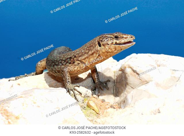 Una lagartija Balear, en la isla de la Dragonera, Mallorca, Islas Baleares