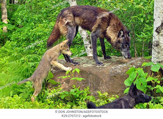 Gray wolf (Canis lupus} captive- adult and cubs, Minnesota Wildlife Connection, Sandstone, Minnesota, USA