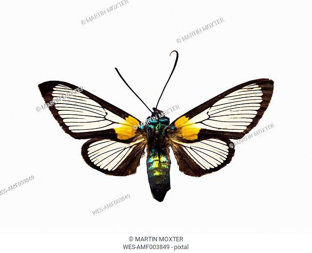 Arctiidae on white ground