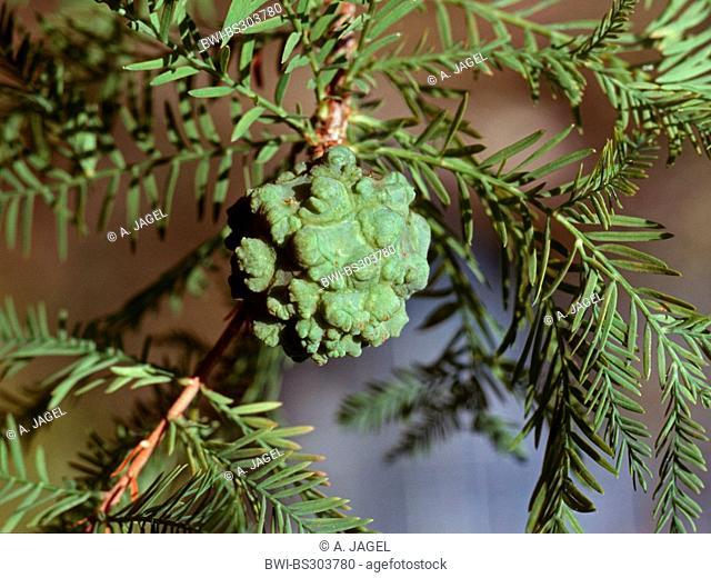 baldcypress (Taxodium distichum), cone on a branch