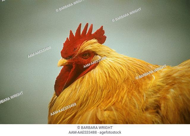 Buff Cochin Chicken (Gallus gallus domestica) China