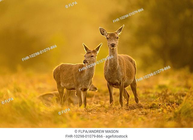 Red Deer (Cervus elaphus) hind and calf, standing together at dusk, Bradgate Park, Leicestershire, England, October