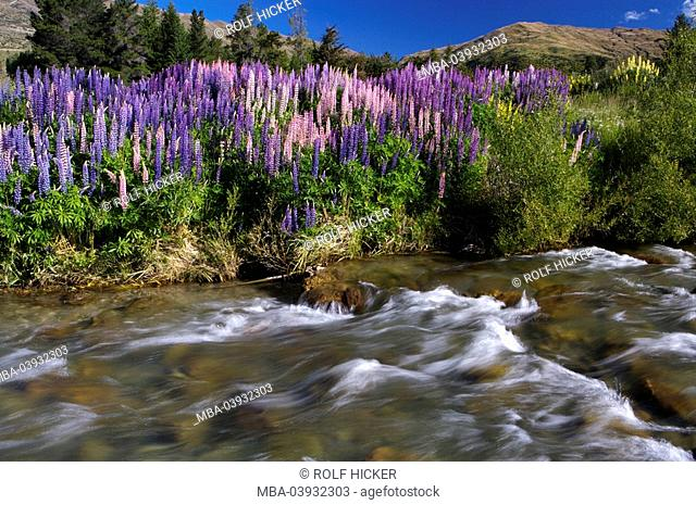 New Zealand, South-island, Central Otago, Cardrona River, lupines, fuzziness, landscape, nature, river, water, current, flows, riversides, shore, vegetation