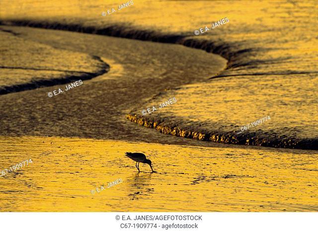 Bar-tailed Godwit Limosa lapponica feeding on coastal mudflats Norfolk Winter