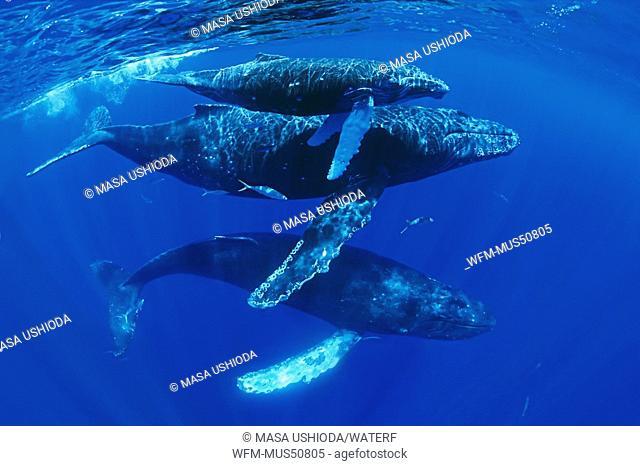 Humpback Whale, Familiy with Calf, Megaptera novaeangliae, Pacific Ocean, Hawaii, USA