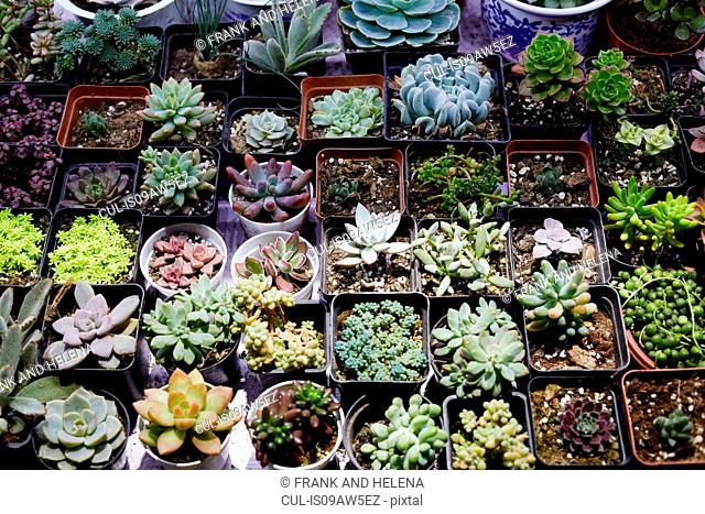 Succulent plants on market stall at Shanghai Bird and Flower Market, China
