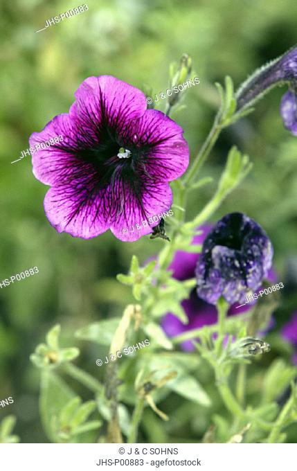 Petunia, Petunia multiflora, Germany, bloom
