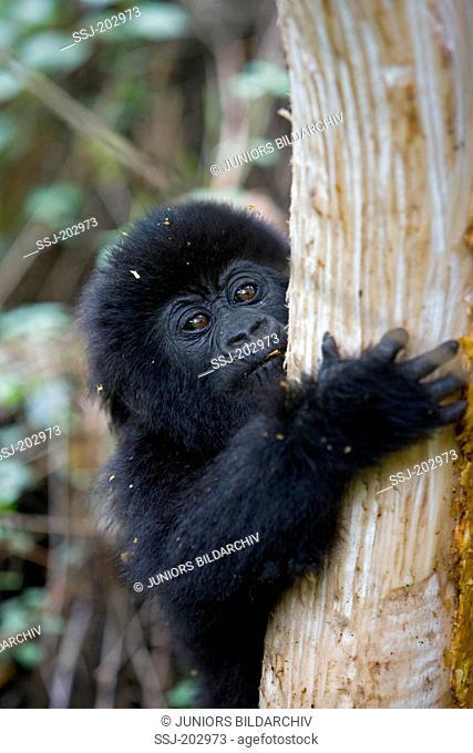 Mountain Gorilla (Gorilla beringei beringei). Infant looking around a tree trunk. Volcanoes National Park, Rwanda