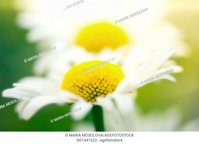 Shasta Daisy Snow Lady. Leucanthemum x superbum. May 2006. Maryland, USA
