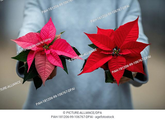"28 November 2018, Lower Saxony, Wiesmoor: A woman holds two poinsettias (lat. Euphorbia pulcherrima) in her hands. (to dpa """"Chic or stuffy? New image for the..."