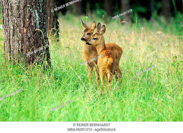 Wood, meadow, deers, young animals