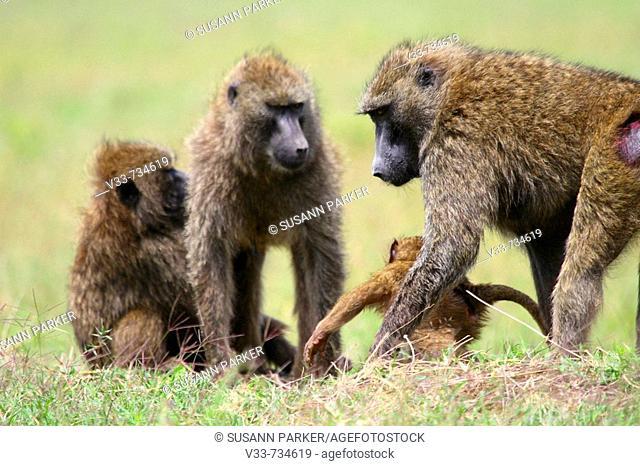Chacma baboon troop in Lake Nakuru National Park, Kenya
