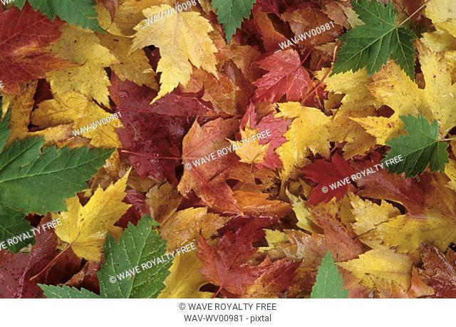 Maple leaves in red, orange and green, Whistler, BC Canada