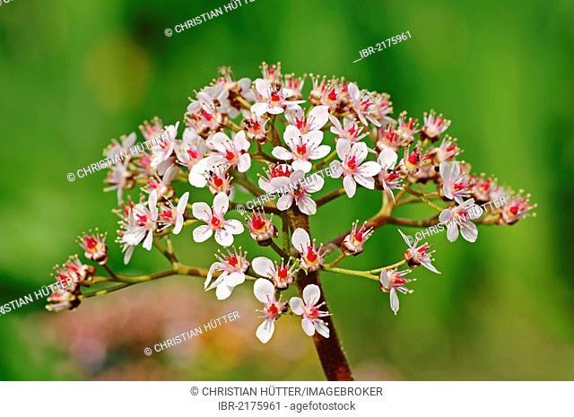 Indian rhubarb, or Umbrella plant (Darmera peltata, Peltiphyllum peltatum), flowering, native to North America