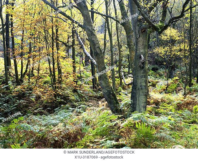 Autumn trees and bracken in Guisecliff Wood Pateley Bridge North Yorkshire England