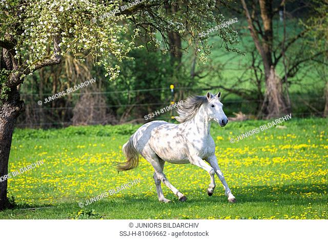Lusitano. Gray gelding galloping on a meadow. Germany