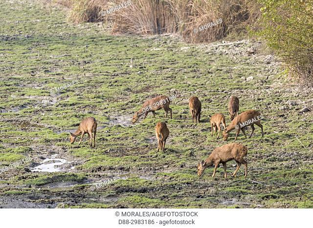 India, State of Assam, Kaziranga National Park, Hog Deer ( Axis porcinus or Hyelaphus porcinus), group
