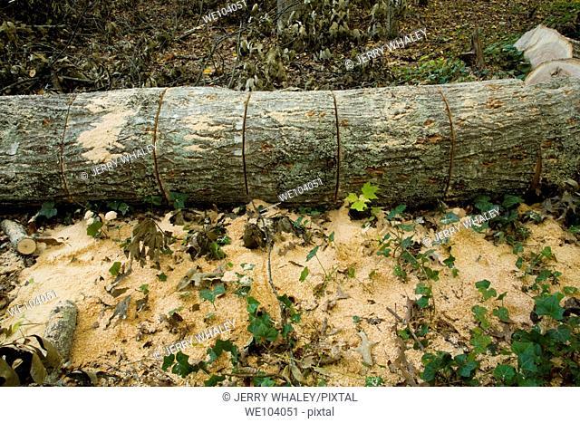 Oak Tree on the Ground, Cut, East Tennessee