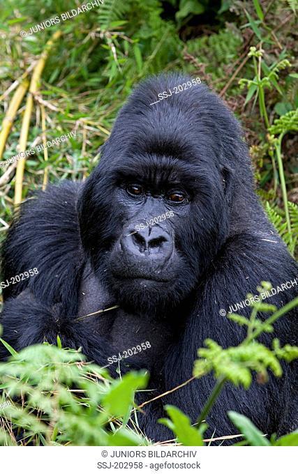Mountain Gorilla (Gorilla beringei beringei). Portrait of silverback male. Volcanoes National Park, Rwanda