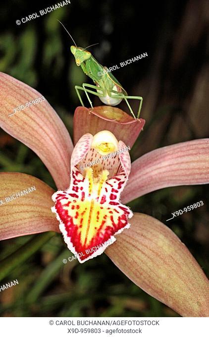Praying Mantis on a Cymbidium Orchid