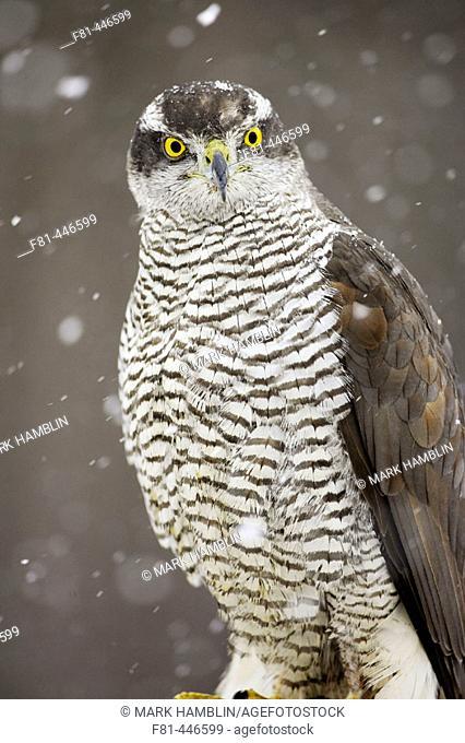 Goshawk (Accipiter gentilis) perched in falling snow. Scotland. (captive-bred bird)