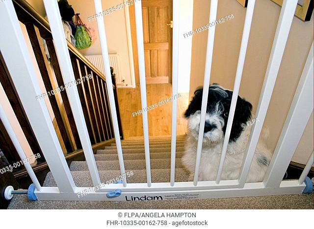 Domestic Dog, Cockerpoo, puppy, sitting beside stairgate at top of stairs, England