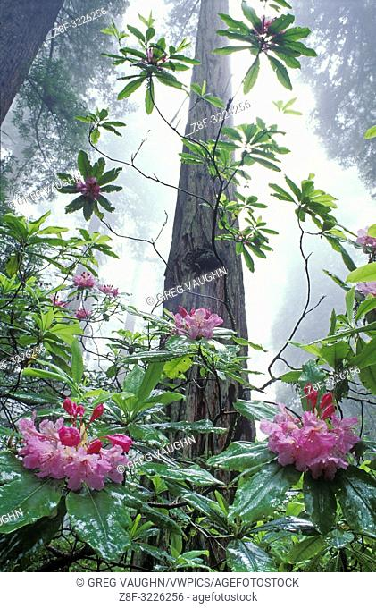 Rhododendron and Redwood trees; Damnation Creek Trail, Del Norte Redwoods State Park, California