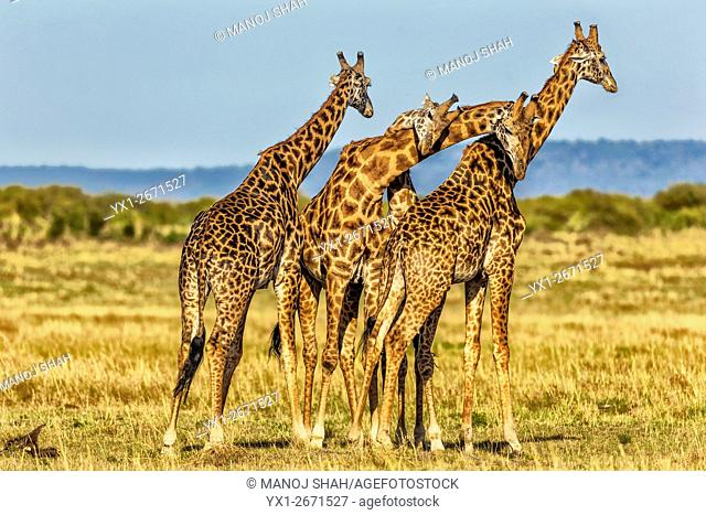 Giraffes on the plains, Masai Mara National Reserve, Kenya