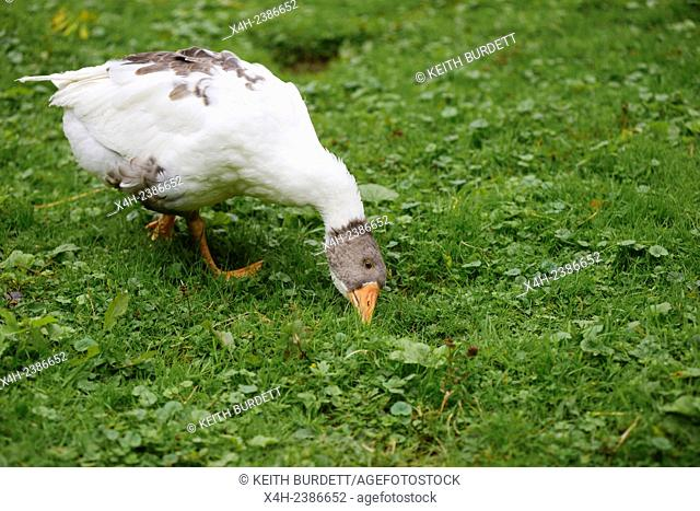 Young Emden goose feeding on grass, grazing, foraging, Wales, UK