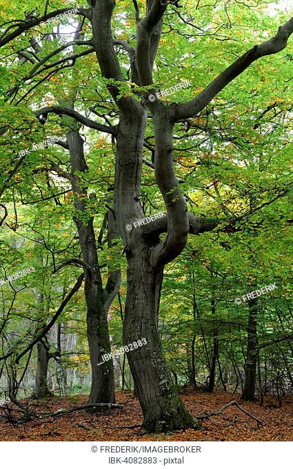 European beeches (Fagus sylvatica) in autumnal Darßer Wald forest, Western Pomerania Lagoon Area National Park, Mecklenburg-Western Pomerania, Germany
