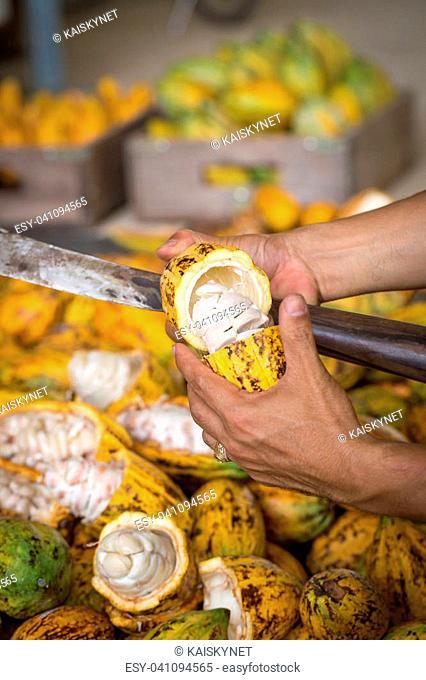 Cacao pod cut open to show cocoa beans inside. selective focus