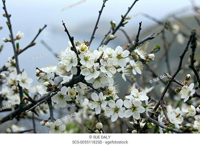 Blackthorn Prunus spinosa West coast, Sark, British Channel Islands, UK