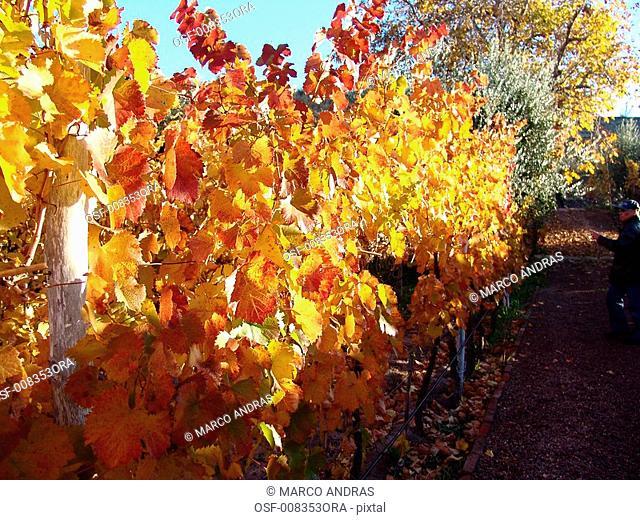 grape tree natural leaf leaves in the fall season