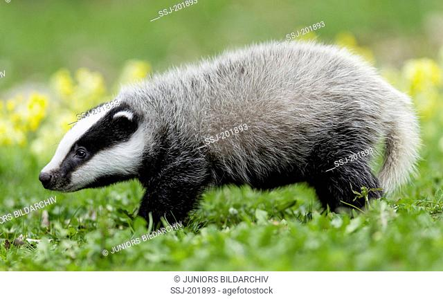 European Badger (Meles meles). Young walking, seen side-on. Germany