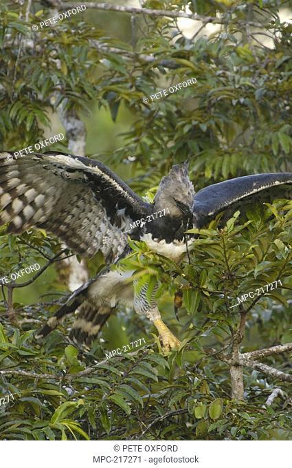 Harpy Eagle Harpia harpyja, female gathering twigs to line her nest, Aguarico River drainage, Amazon rainforest, Ecuador