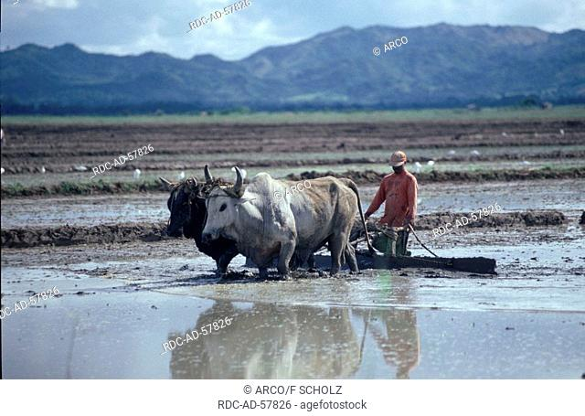 Farmer with ox plow in rice field Cibao valley Dominican Republic