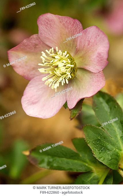 Pink Hellebore blossom & foliage detail (Helleborus x hybridus). VanDusen, Vancouver, BC
