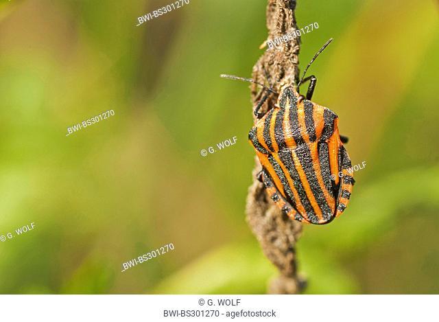 Graphosoma lineatum, Italian Striped-Bug, Minstrel Bug (Graphosoma lineatum, Graphosoma italicum), sitting at a plant, Germany, Brandenburg