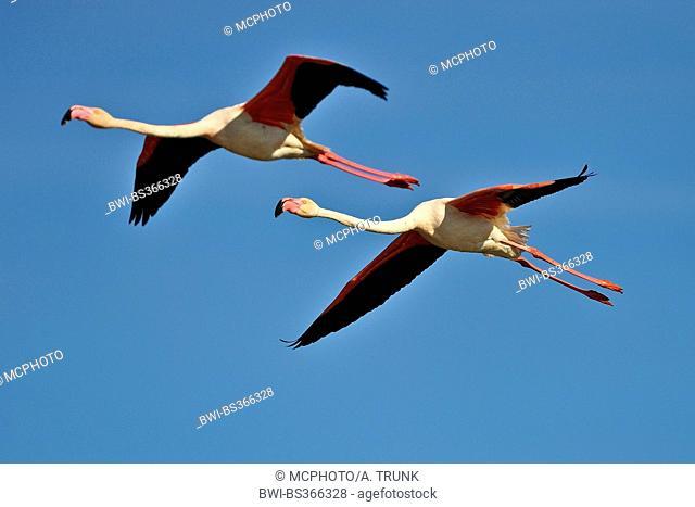 Greater flamingo, American flamingo, Caribbean Flamingo (Phoenicopterus ruber ruber), two flaminogs at the sky, USA, Florida, Everglades National Park
