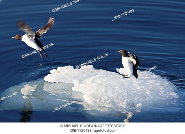 Br¸nnichs guillemot Uria lomvia pair resting on ice in the Svalbard Archipelago, Barents Sea, Norway  MORE INFO In North America this bird species is known as...