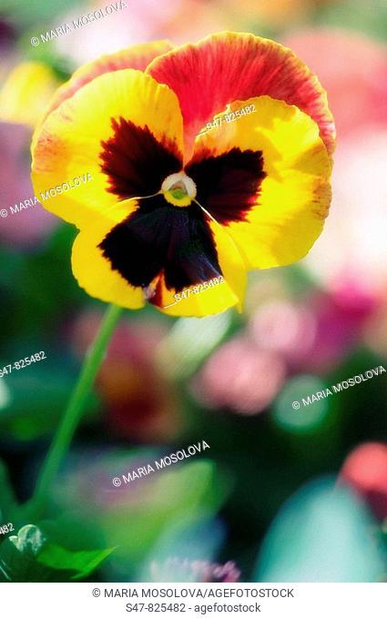 Pansy Flower. Viola x wittrockiana