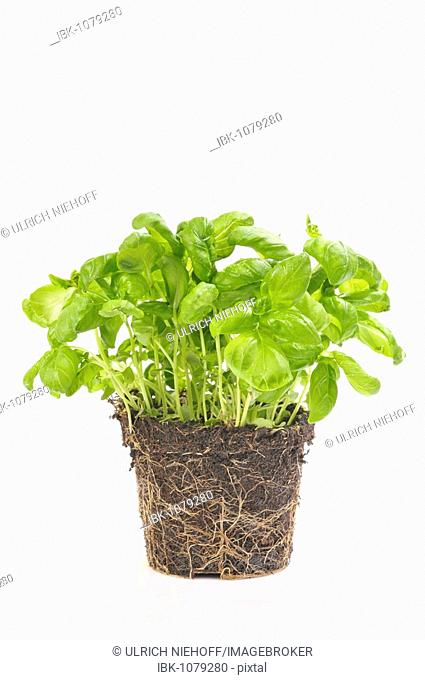 Basil (Ocimum basilicum), pot plant
